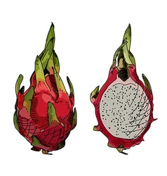 Dragon fruit or pitahaya vector