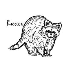 Raccoon standing - sketch hand vector