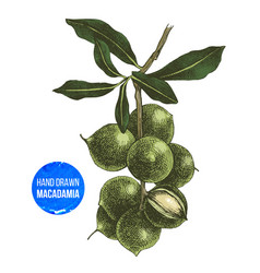 hand drawn macadamia tree branch vector image