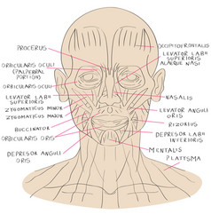 face muscle color vector image