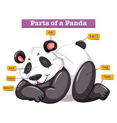 Panda and different parts of the body vector