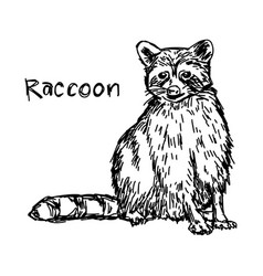 Raccoon sitting - sketch hand drawn vector
