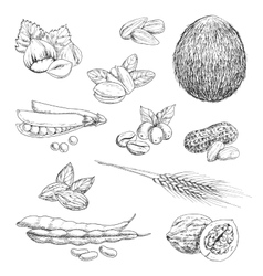 Nuts beans seeds and wheat sketches vector