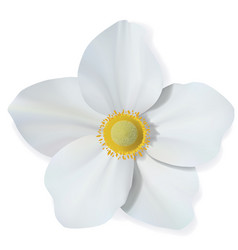 White narcissus flower isolated on white vector