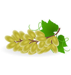 grape isolated vector image vector image