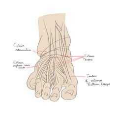 Foot tendons color vector