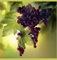 grapes with leaves vector image