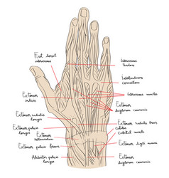 hand dorsal muscles color vector image