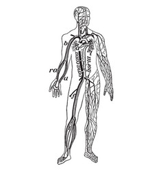 Veins and arteries of the body vintage vector