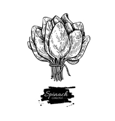 Spinach bunch hand drawn  isolated spinach vector