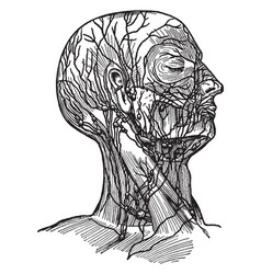 Lymph vessels and lymph nodes vintage vector