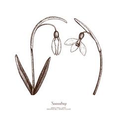Snowdrop flowers sketch vector
