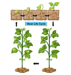 diagram showing life cycle of bean vector image