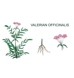 Valerian officinalis vector