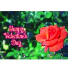 Rose in garden vector image