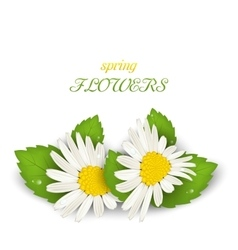 Camomile Flowers with Shadows on White Background vector image
