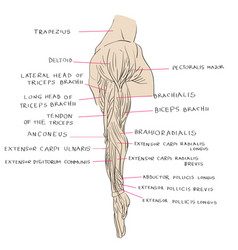 lateral muscles of arm color vector image