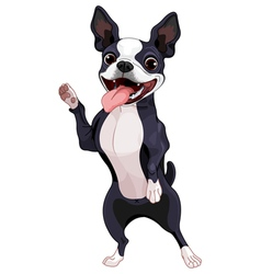 Boston terrier standing vector