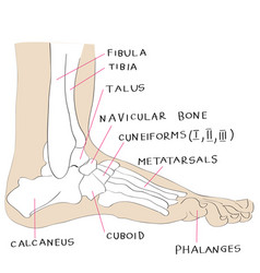 Lateral view foot bones color vector