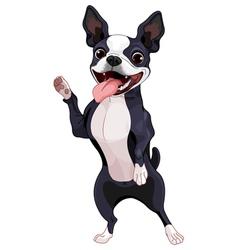 Boston terrier standing vector