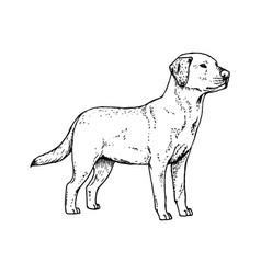 hand drawn dog labrador sketch vector image
