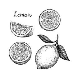 hand drawn lemon set vector image