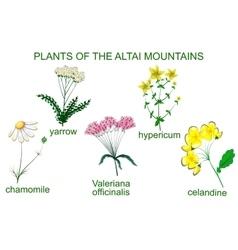 Medicinal plants of the altai mountains vector