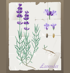Lavender botanical drawing vector