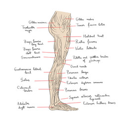 leg muscles lateral text vector image vector image
