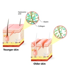 skin changes over a lifetime vector image vector image