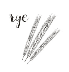 Rye sketch rye hand drawing vector