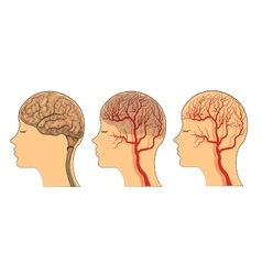 Brain  the vessels of the brain vector