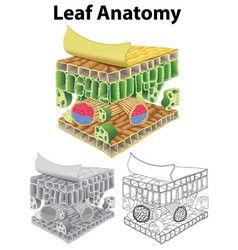 Diagram showing leaf anatomy in three sketches vector
