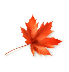 Red maple leaf object vector