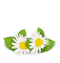 Camomile flowers with shadows on white background vector
