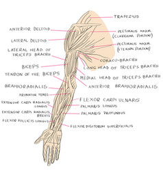 muscles of arm color vector image vector image