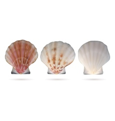 Scallop seashells vector image