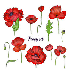 set of various poppy red flower collection vector image vector image