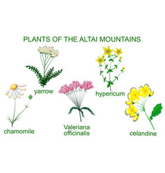 Medicinal plants of the altai mountains vector