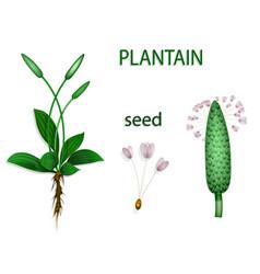 plantain psyllium vector image