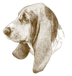 Engraving antique of basset hound head vector