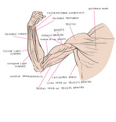 muscles of the arm color vector image vector image
