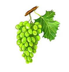 Grapes fruit hand drawn vector