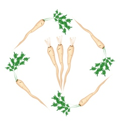 Fresh green parsley roots on white background vector