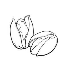 Two pistachio nuts hand drawn isolated sketch vector