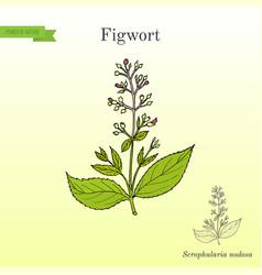figwort scrophularia nodosa medicinal and honey vector image vector image