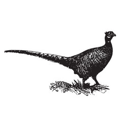 Pheasant vintage vector