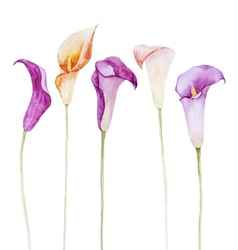 Nice watercolor calla flowers vector