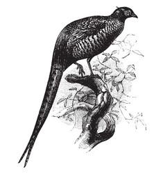 Common pheasant vintage vector