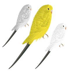 cute vector budgie vector image